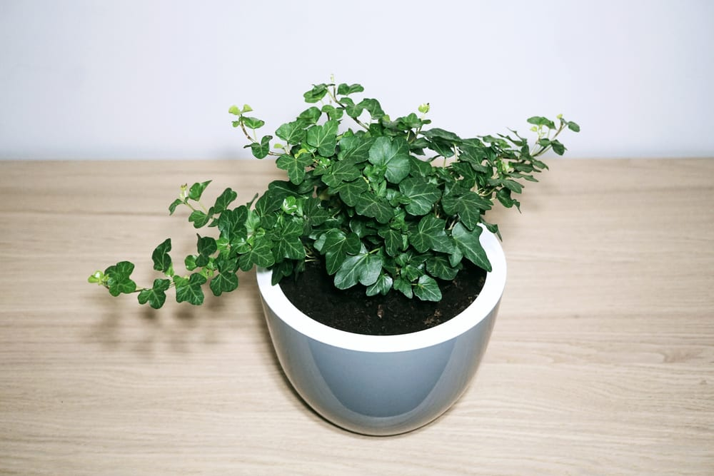 Most Dangerous Houseplants that Dog Owners Must Avoid - Hedera Helix