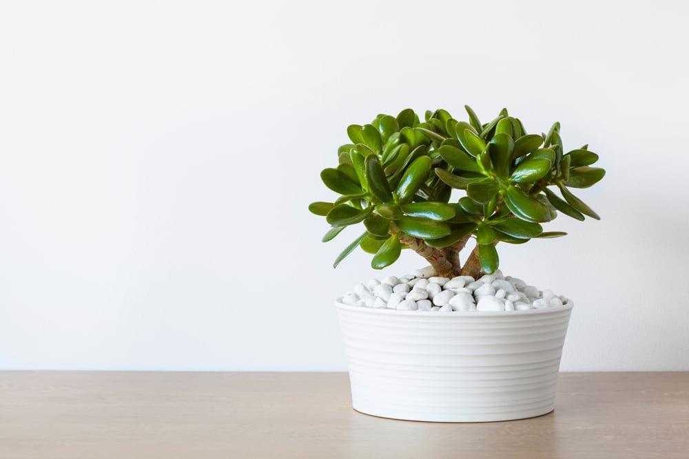Most Dangerous Houseplants that Dog Owners Must Avoid - Jade Tree