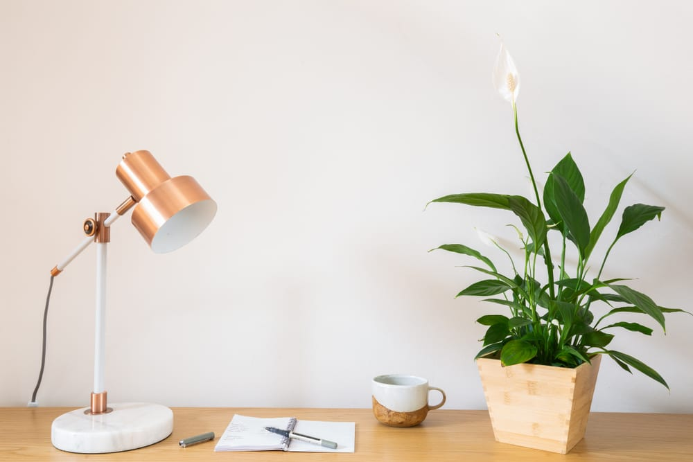 Most Dangerous Houseplants that Dog Owners Must Avoid - Peace Lily