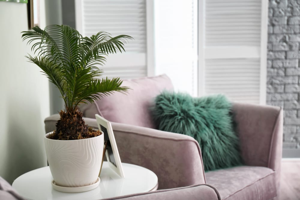 Most Dangerous Houseplants that Dog Owners Must Avoid - Sago Palm